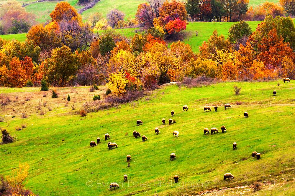 Стадо овце насред зелена поляна