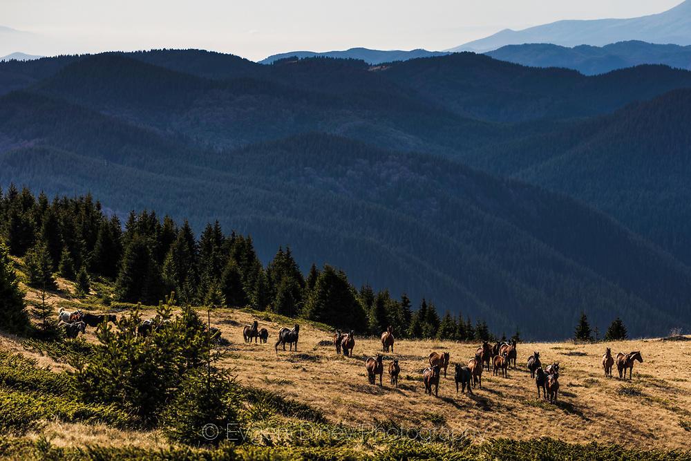 Стадо коне под връх Орфей в Родопите