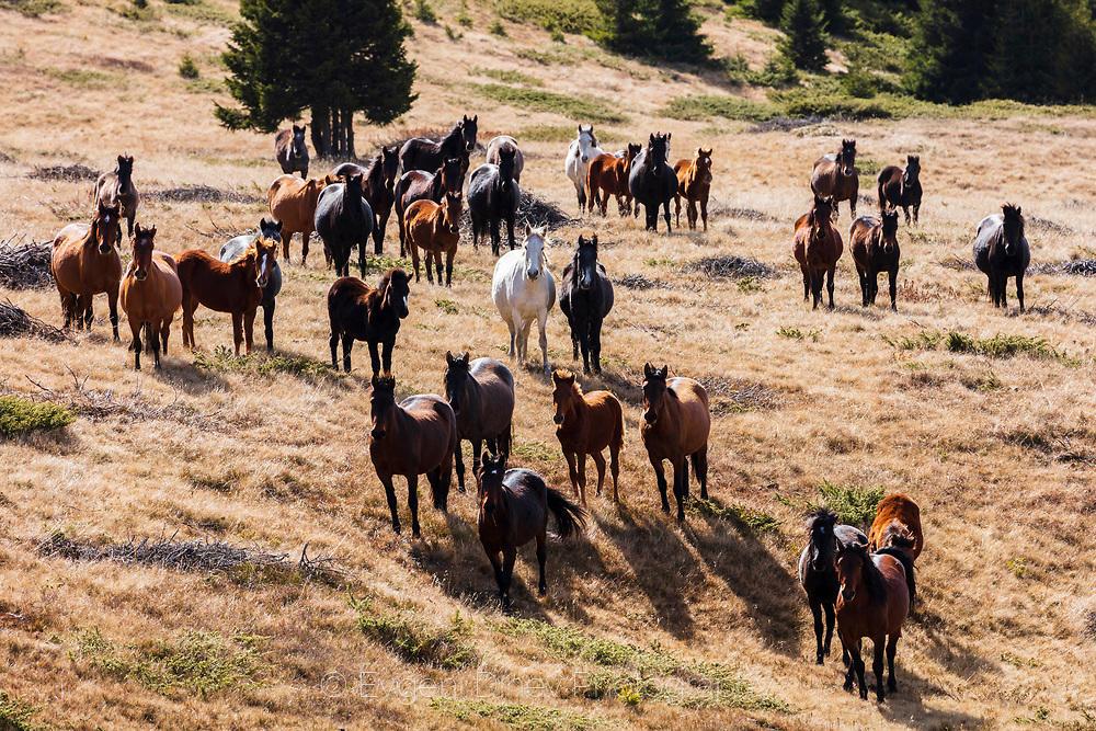 Стадо коне в Родопите