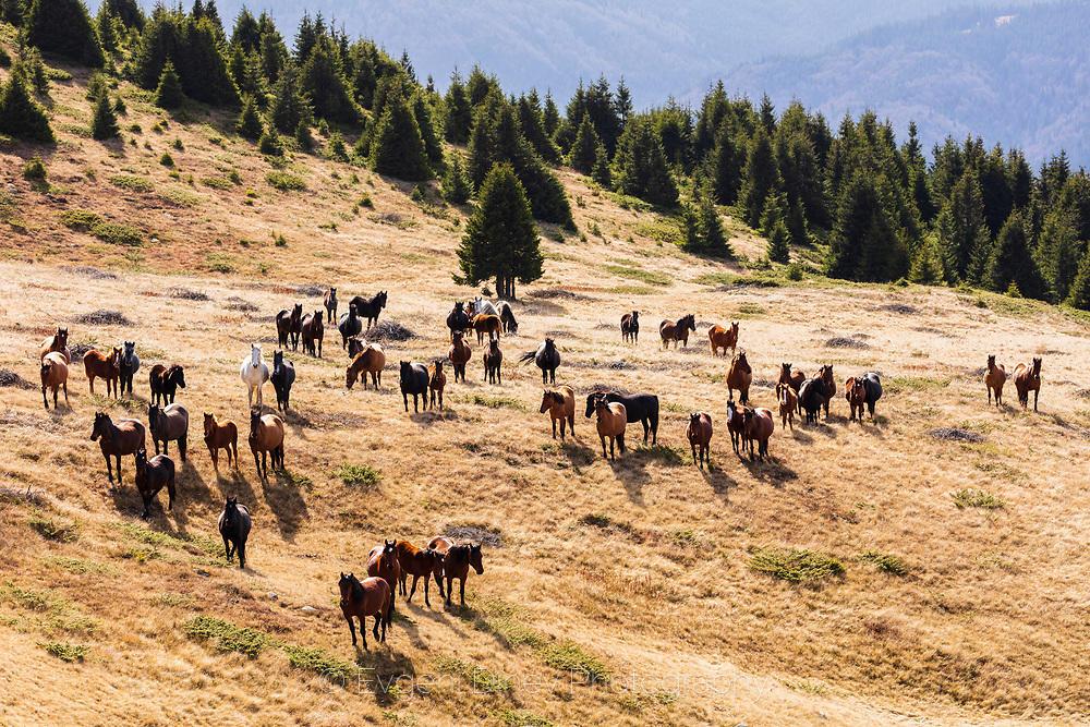 Огромно стадо коне в планината