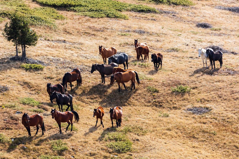 Стадо коне
