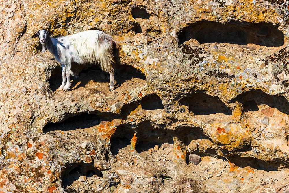 Коза качена в скална ниша край река Крумовица