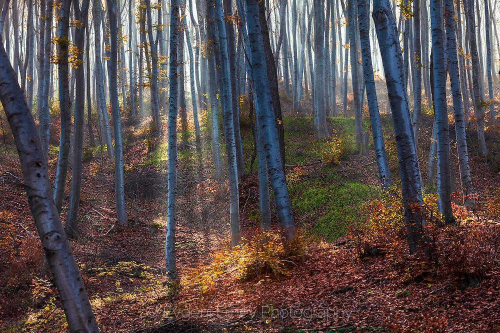 Слънчеви лъчи в мъглива букова есенна гора