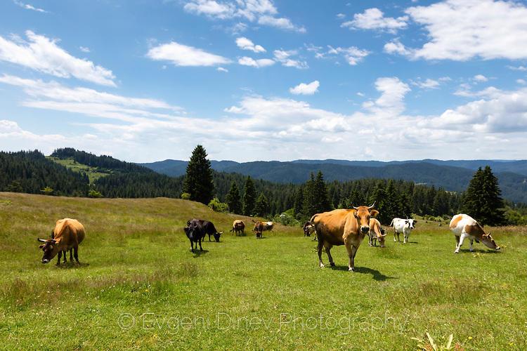 Стадо крави насред високопланинска поляна в Родопите