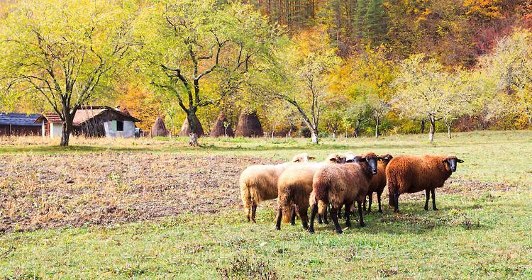 Банда овце