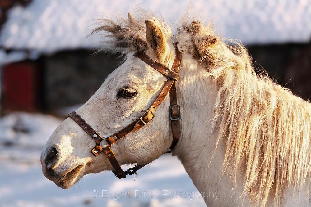 Як рилски кон