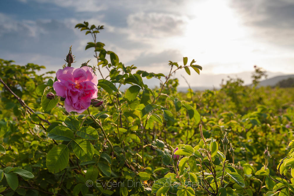 Розов масив край Енина