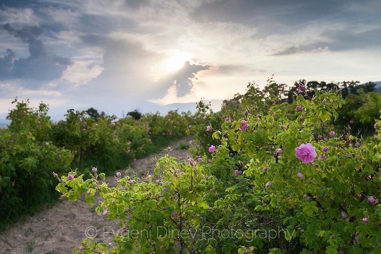 Розови лехи