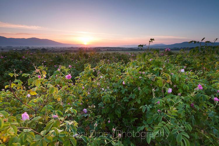 Утрин с аромат на рози