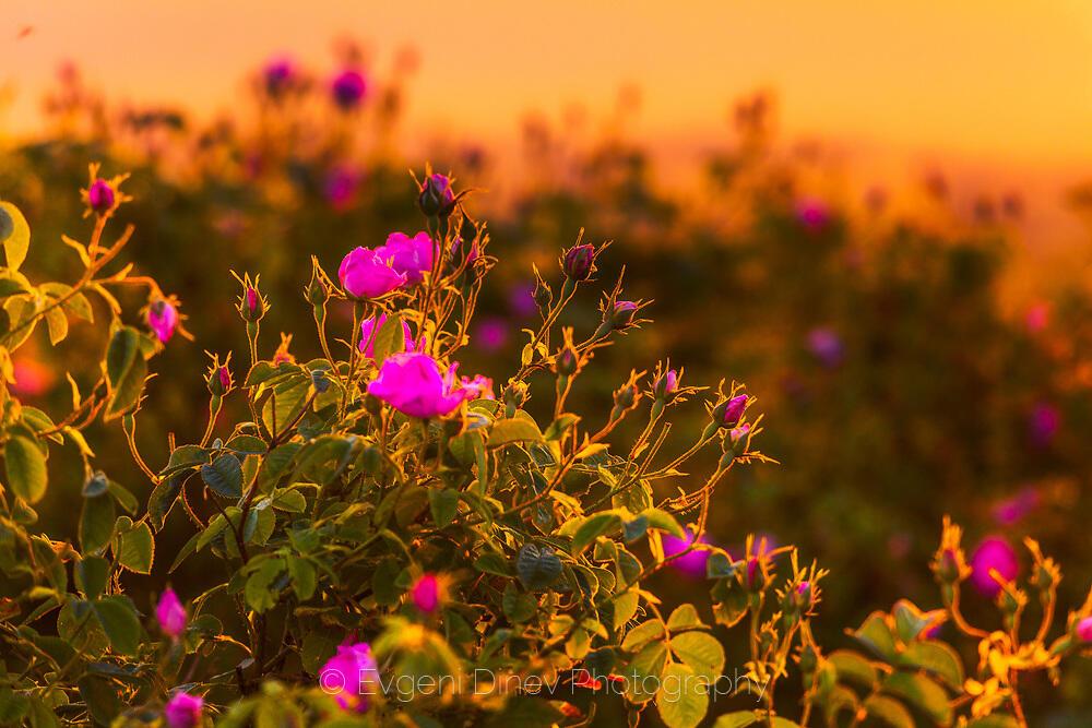 Розовата долина в мека светлина по изгрев