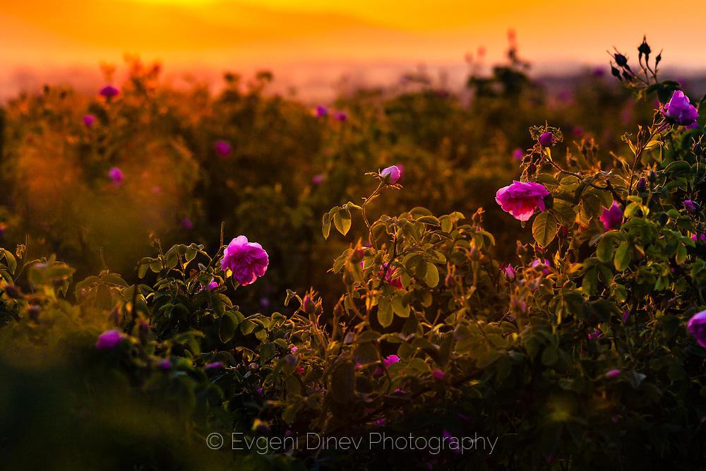 Розовата долина по изгрев