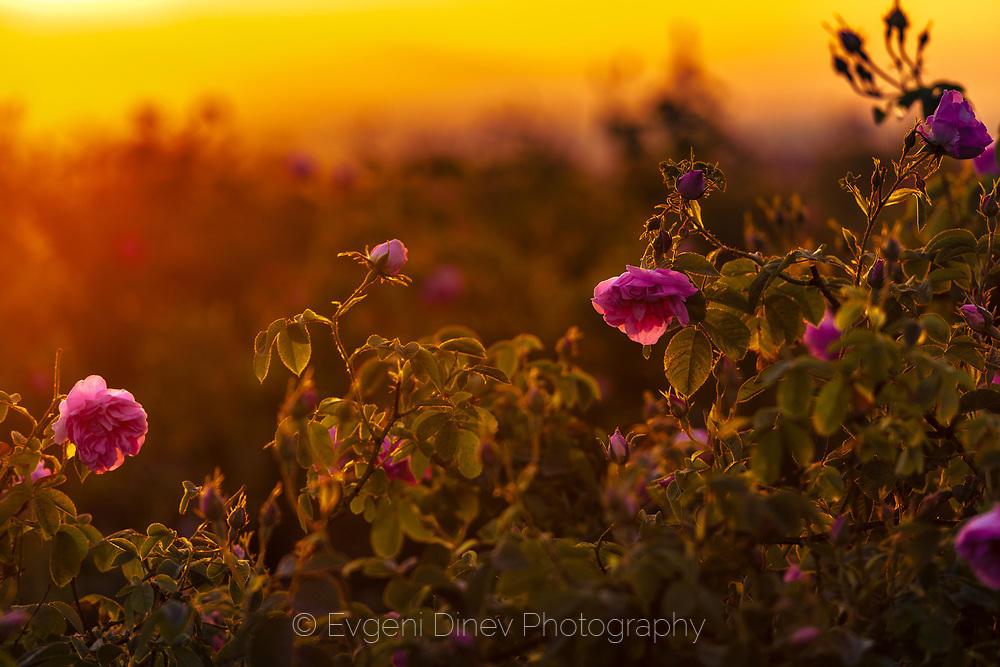 Слънчеви рози