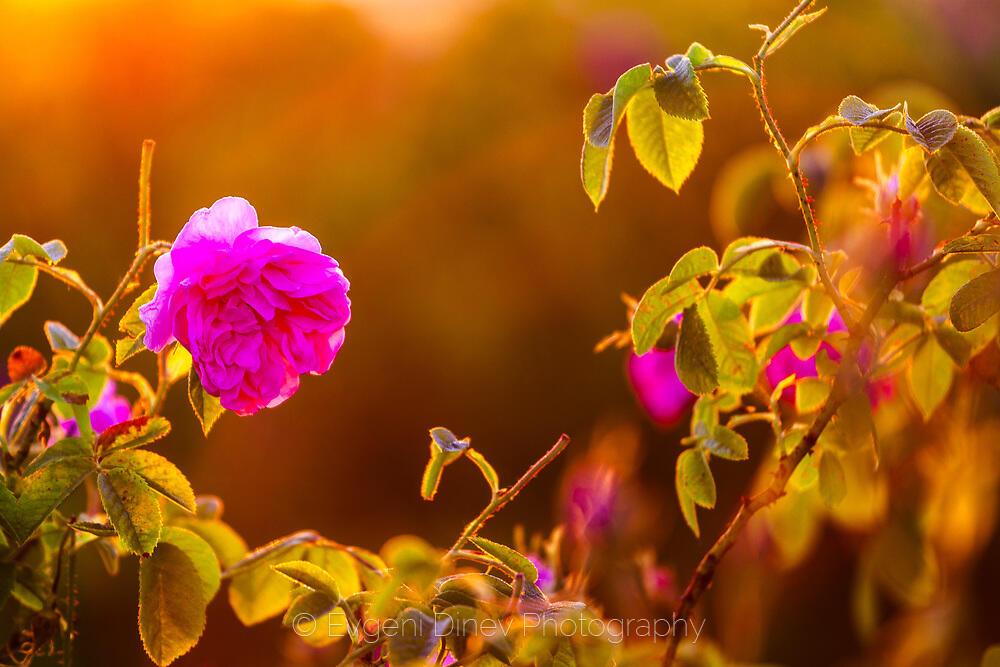 Роза дамаскина