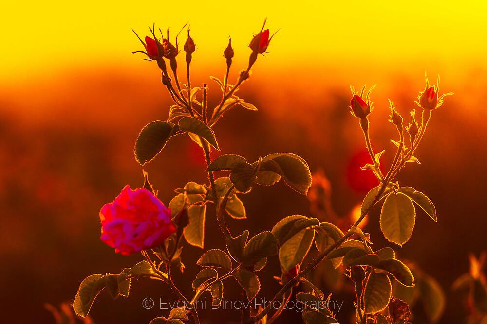 Розови стръкове в Розовата долина