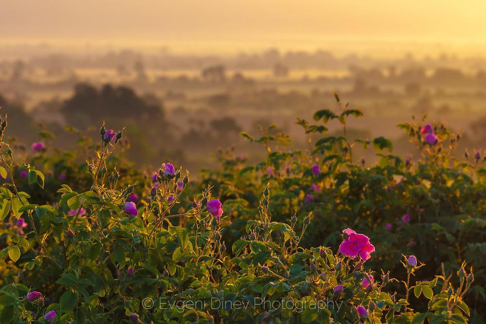 Розовата долина в майско утро