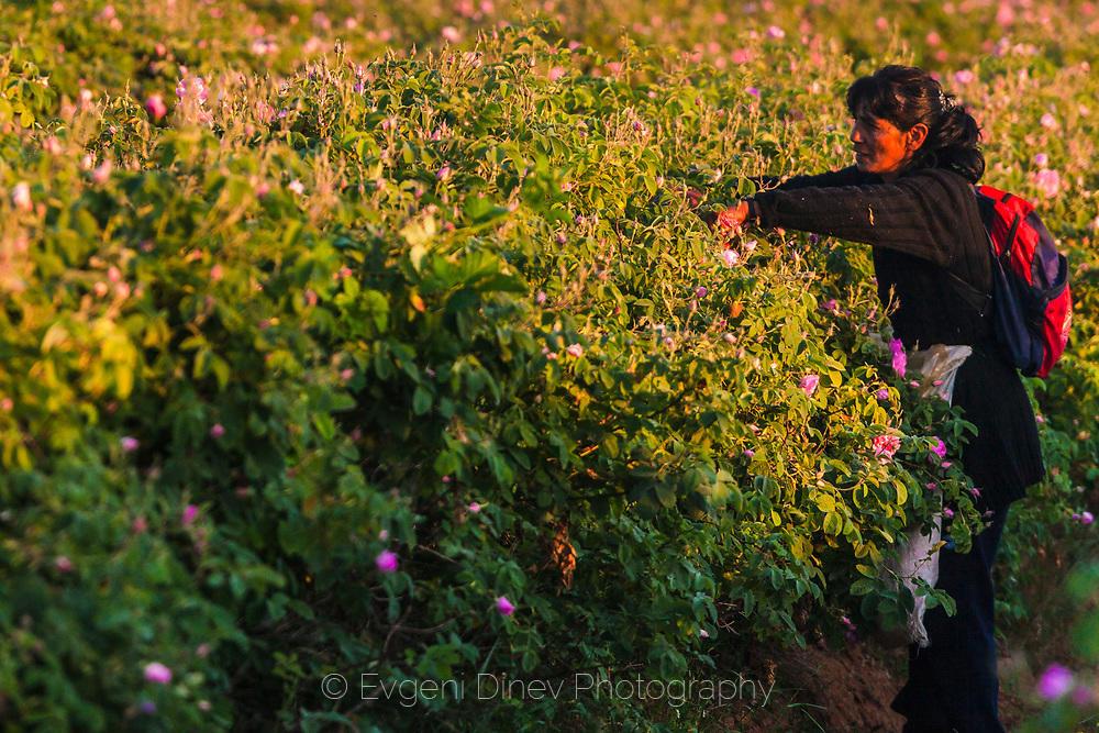 Розоберач по изгрев в Розовата долина