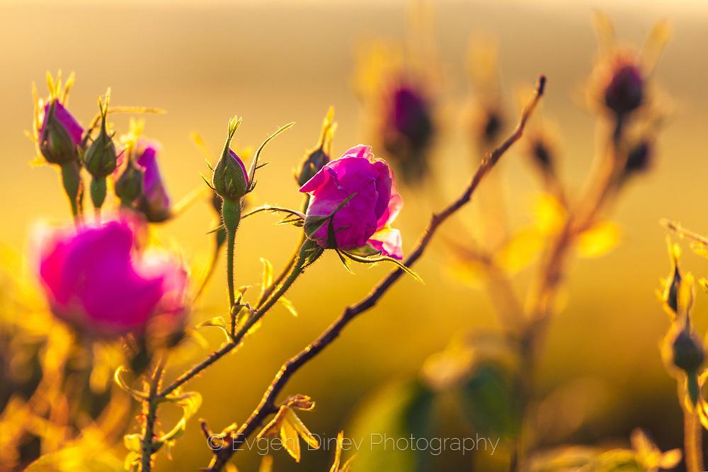 Маслодайни рози