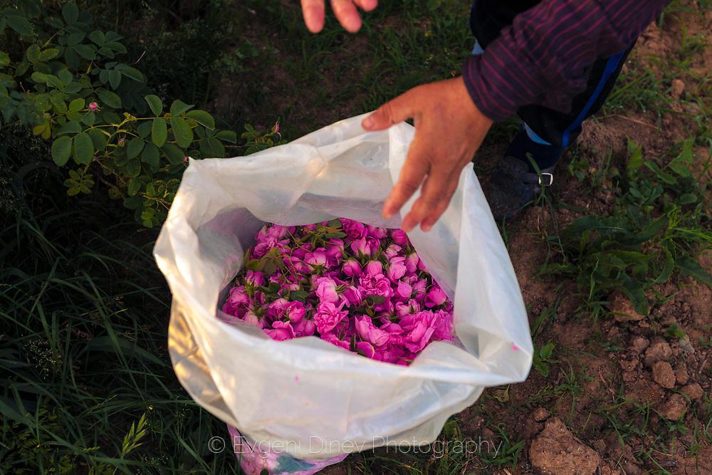 Берач събира рози в чувал