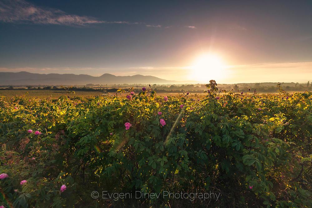 Слънчево поле от рози