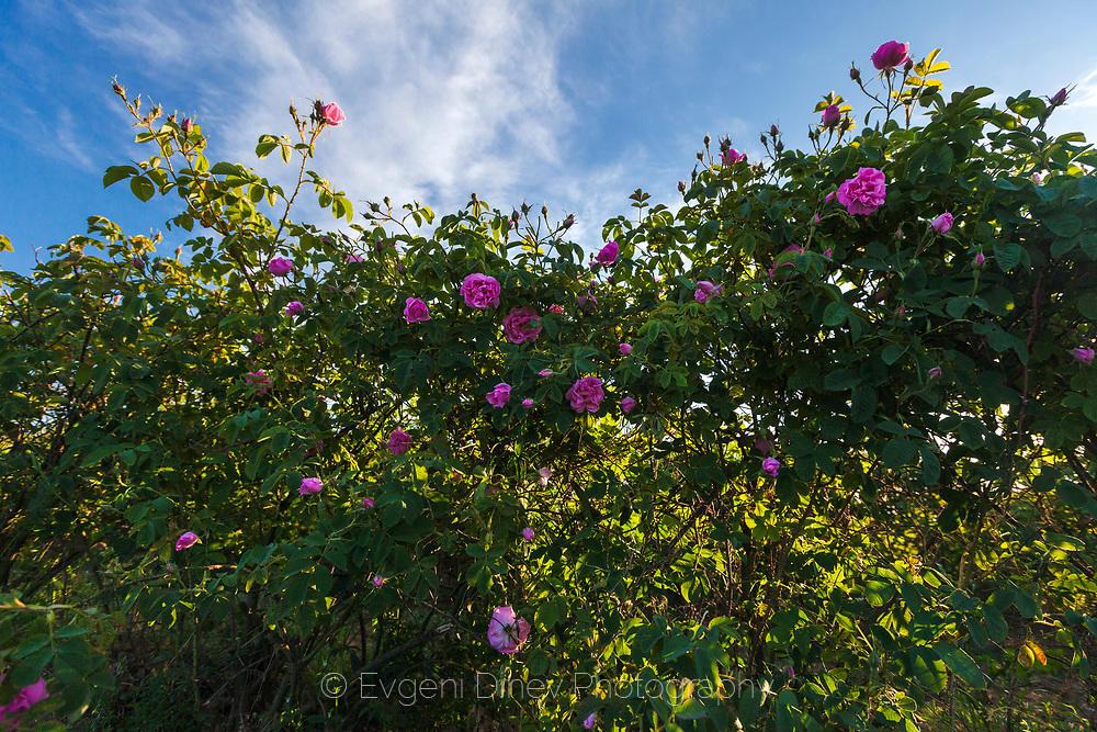 Стена от рози