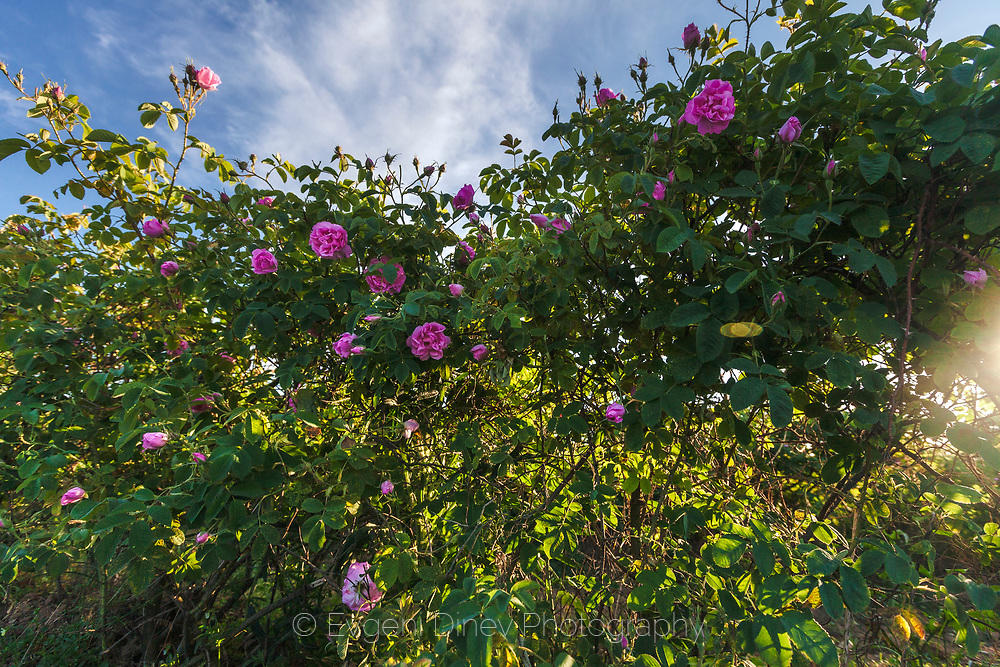 Майски рози