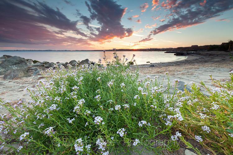 Храстче с лилави цветчета на плажа по залез