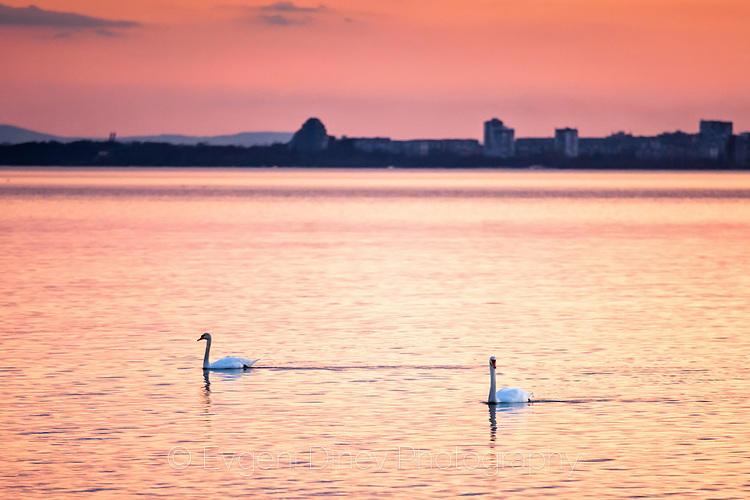 Двойка лебеди край Сарафовския бряг