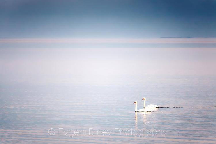Лебеди в тихия залив