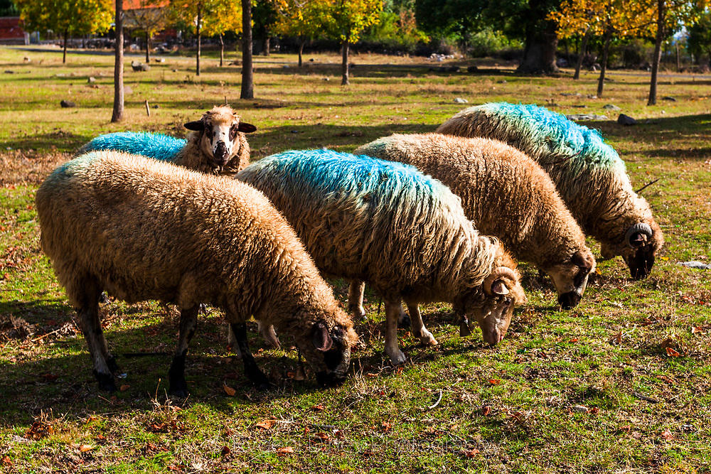 Овце боядисани в синьо