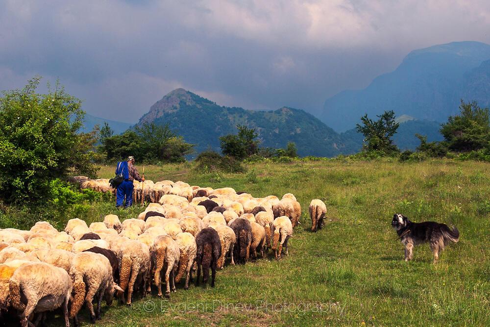 Пазачът на стадото