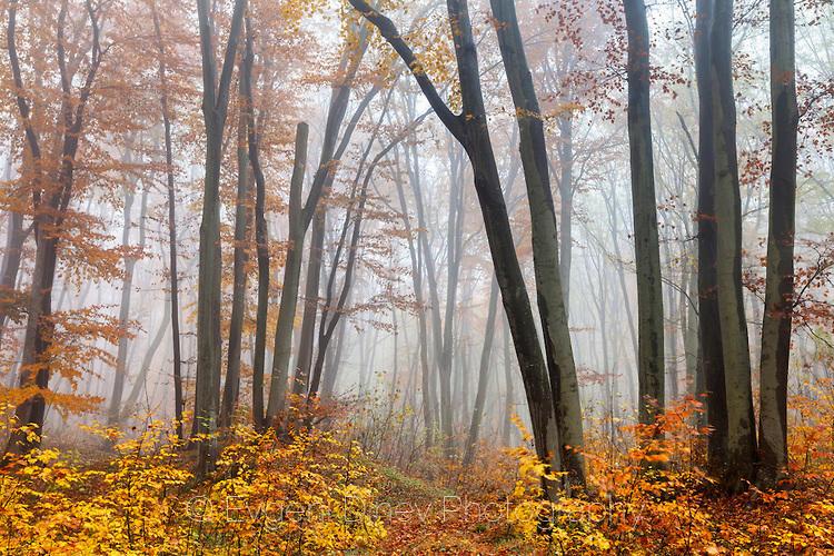 Красива букова гора в Шуменското плато