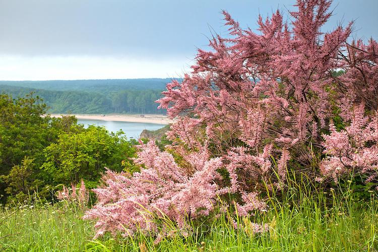 Розово дръвче край Силистар