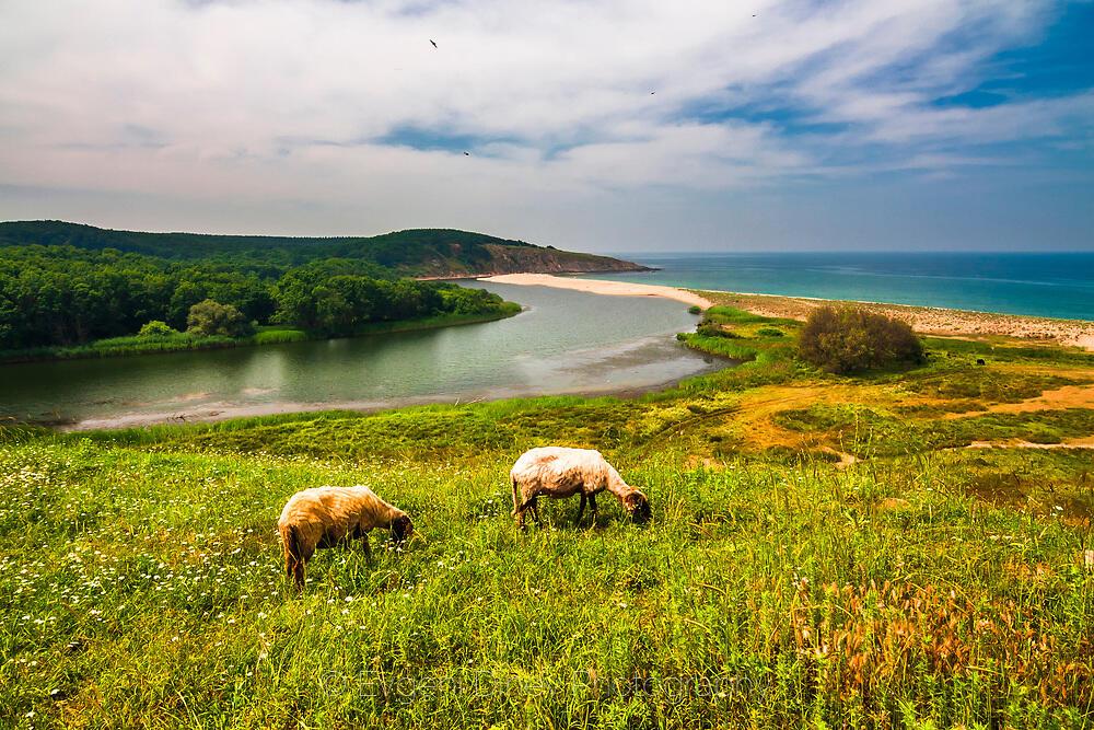 Синеморски овце