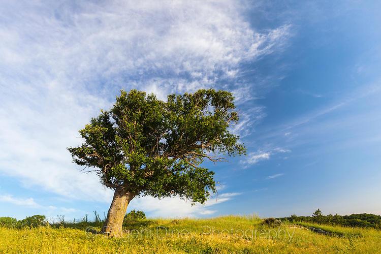 Кривото дърво в Синеморец