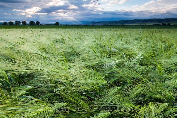 Зелено житно поле