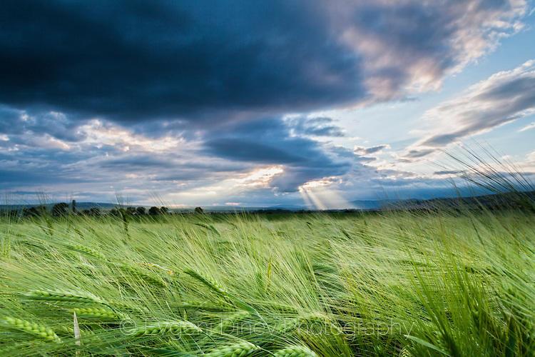 Лъчи в житно поле