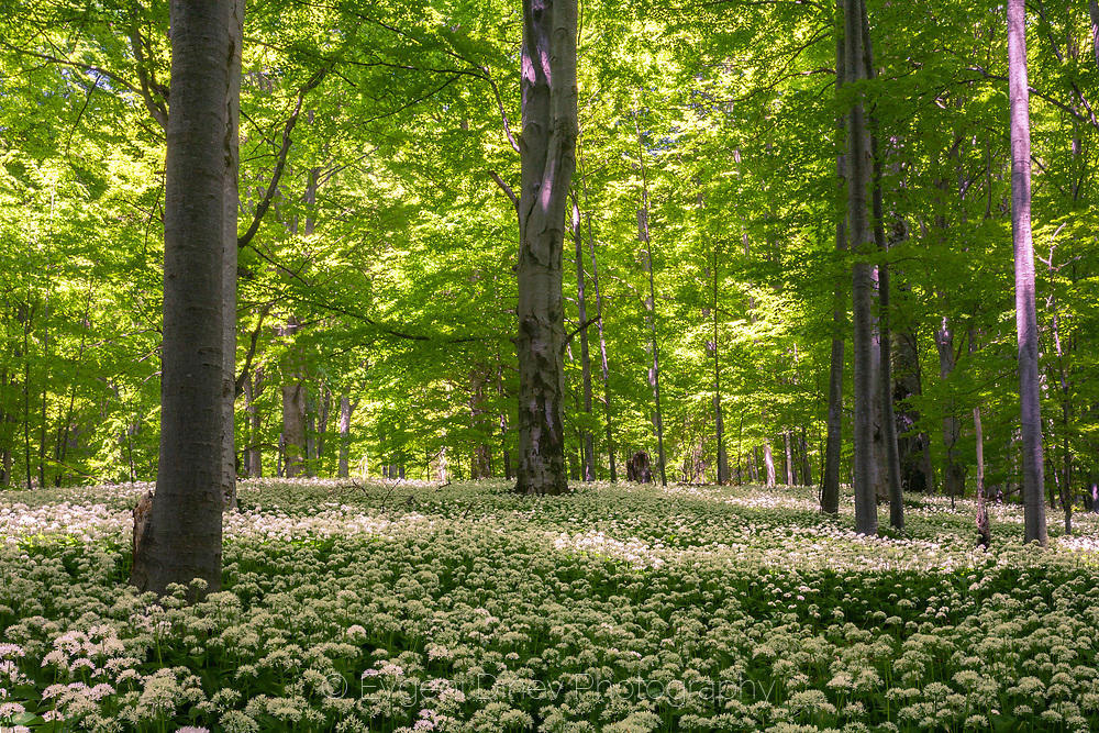 Красива букова гора с див чесън