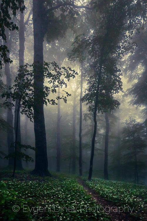 Поляна с див чесън насред мъглива букова гора