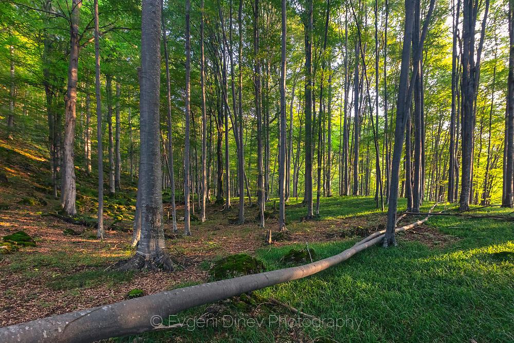 Букова гора в резерват Стенето