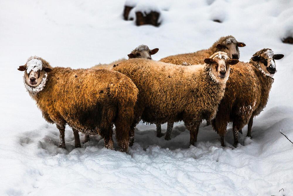 Стоиловски овце