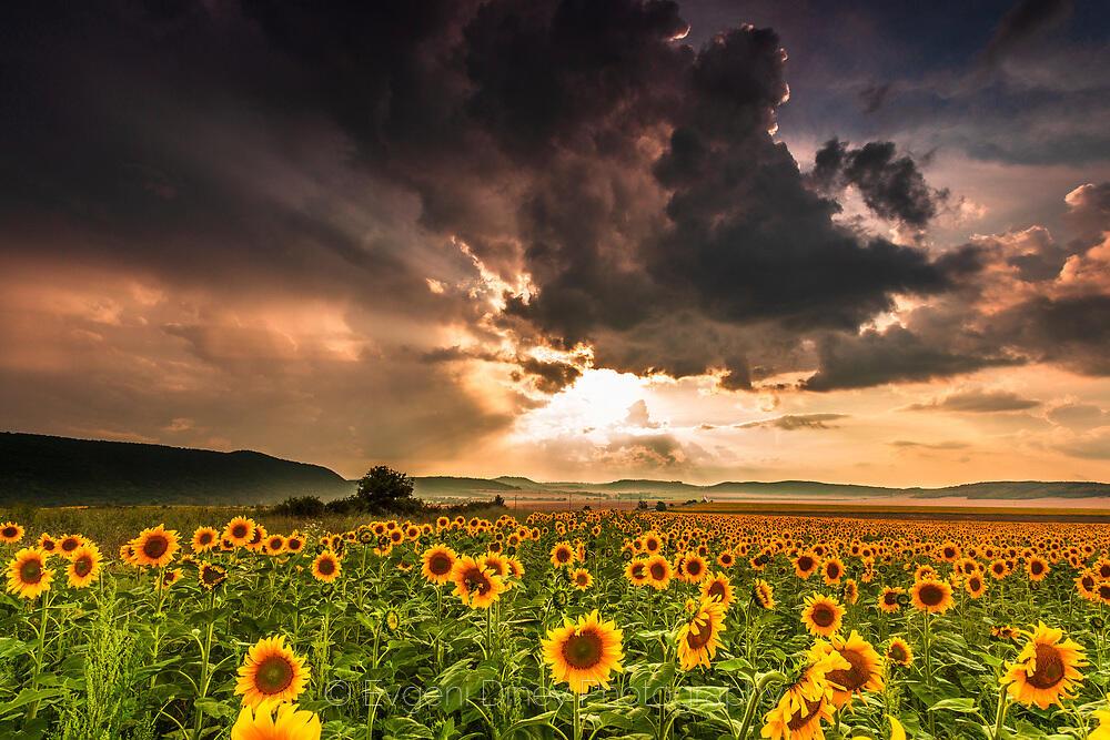 Цветя на залеза