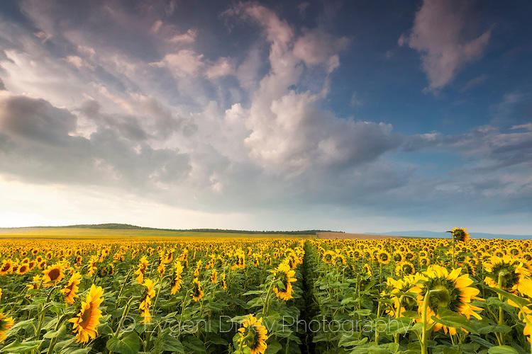 Слънчогледови поля