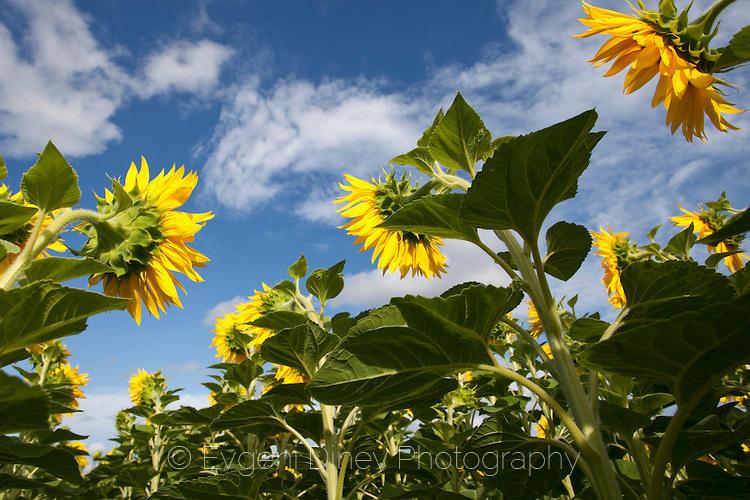 Слънчогледи гледани от ниско