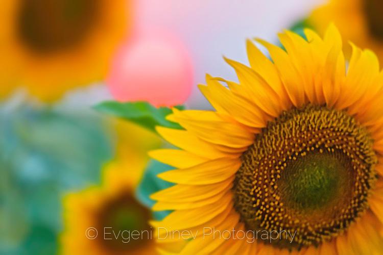 Слънце и слънчогледи