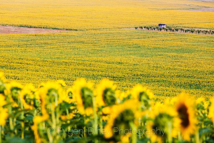 Малка барака в слънчогледово поле