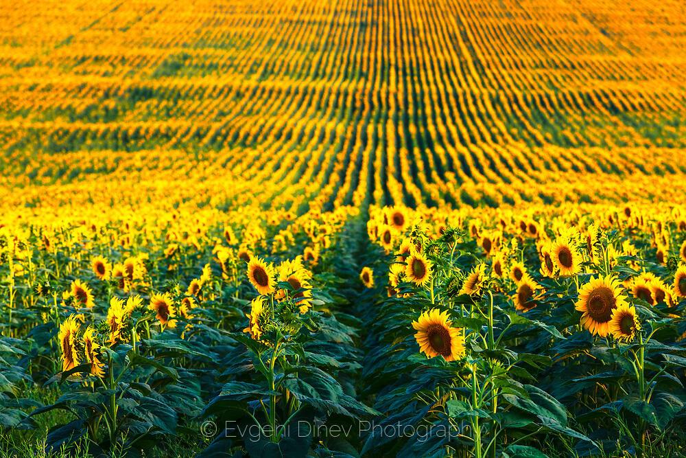 Пейзаж със слънчогледи