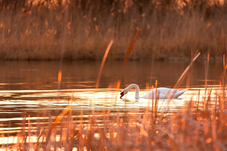 Лебед в езеро по залез