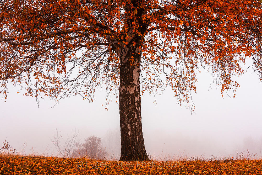 Червено дърво