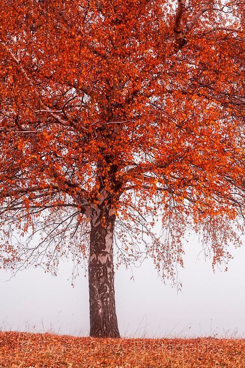 Есенно дърво в мъгла