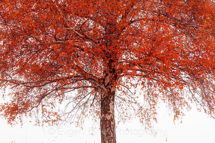 Дърво с червена корона